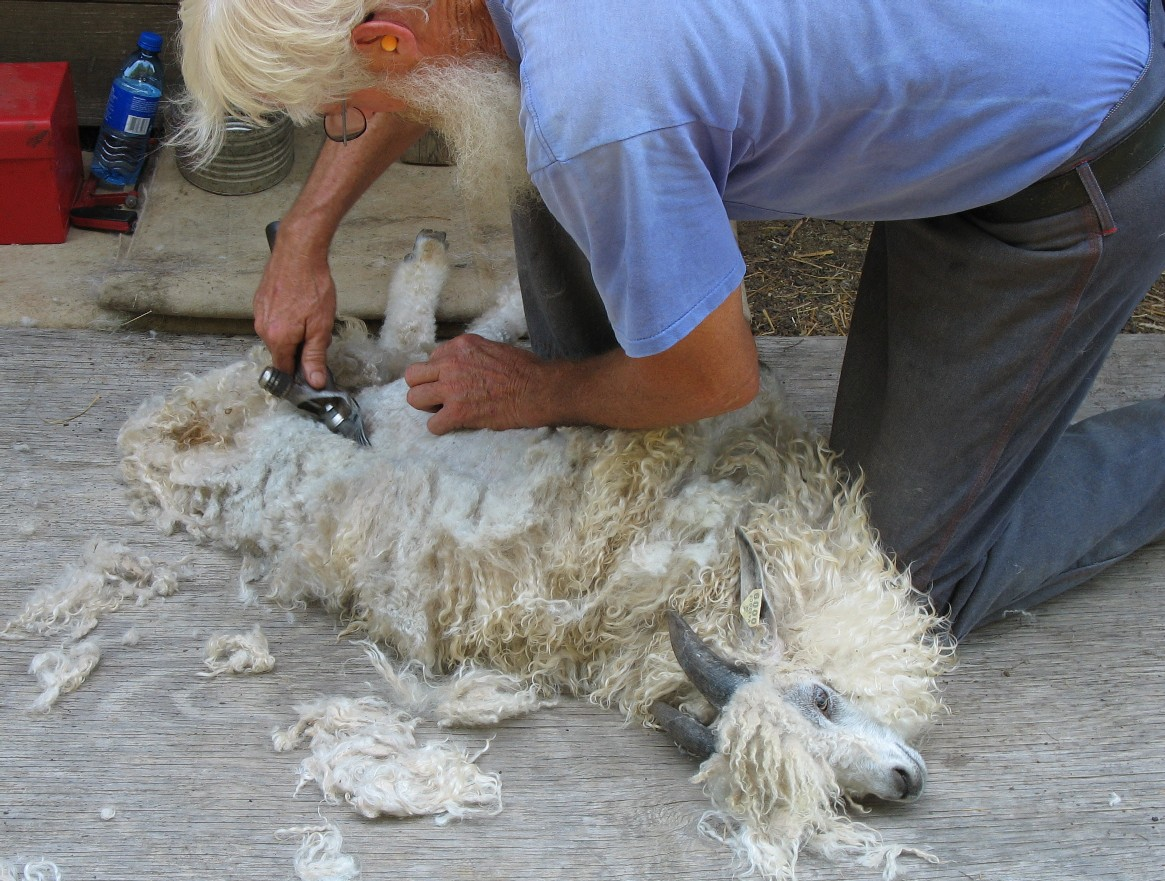 shearing with electric shears