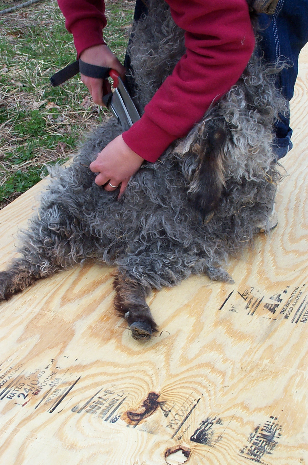 starting to shear a goat's stomach